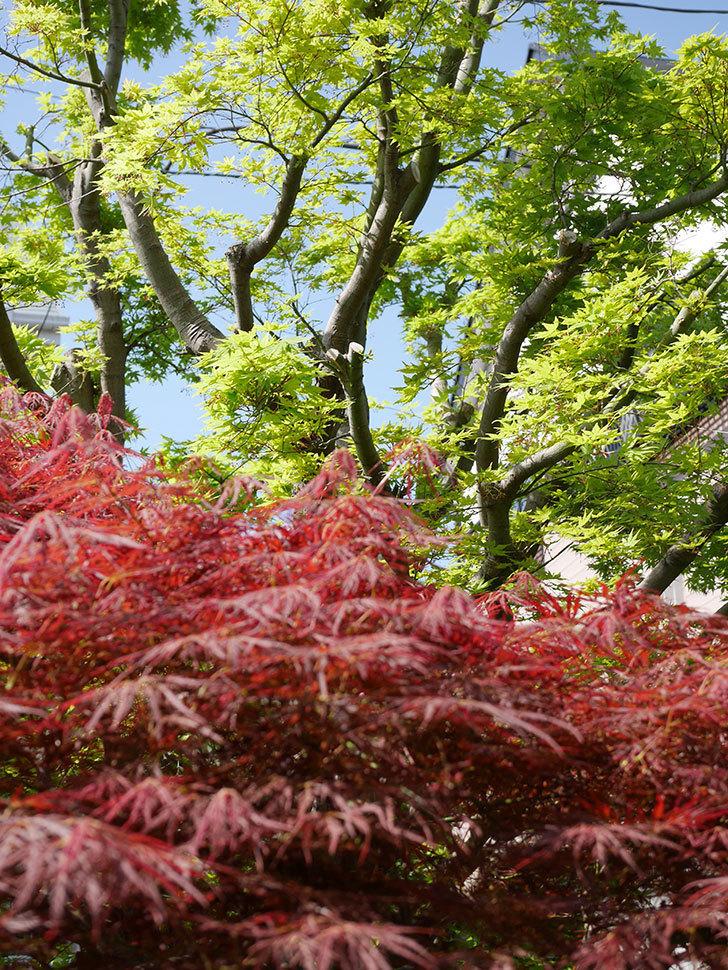 ベニシダレ(紅枝垂)の赤い新芽が良い感じになってきた。2021年-022.jpg