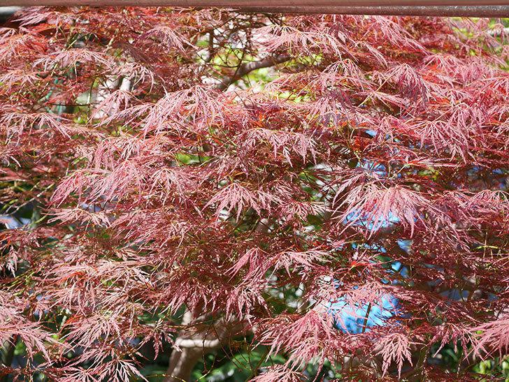 ベニシダレ(紅枝垂)の赤い新芽が良い感じになってきた。2021年-023.jpg