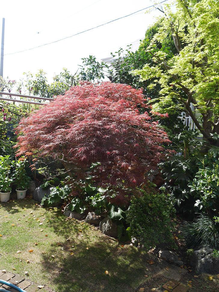 ベニシダレ(紅枝垂)の赤い新芽が良い感じになってきた。2021年-025.jpg
