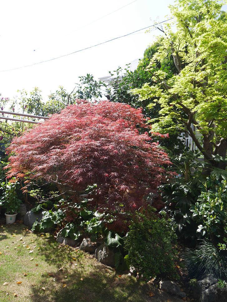 ベニシダレ(紅枝垂)の赤い新芽が良い感じになってきた。2021年-026.jpg