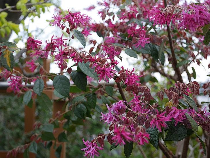 ベニバナトキワマンサクの花がたくさん咲いた。2020年-1.jpg