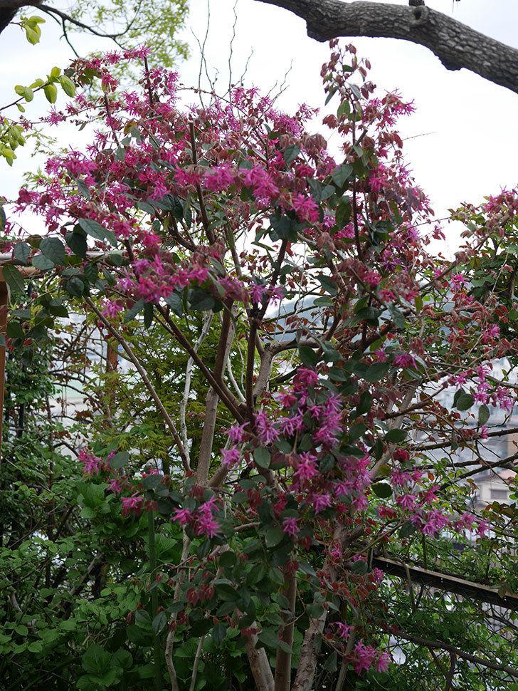 ベニバナトキワマンサクの花がたくさん咲いた。2020年-10.jpg