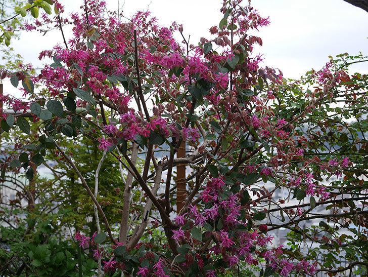 ベニバナトキワマンサクの花がたくさん咲いた。2020年-2.jpg