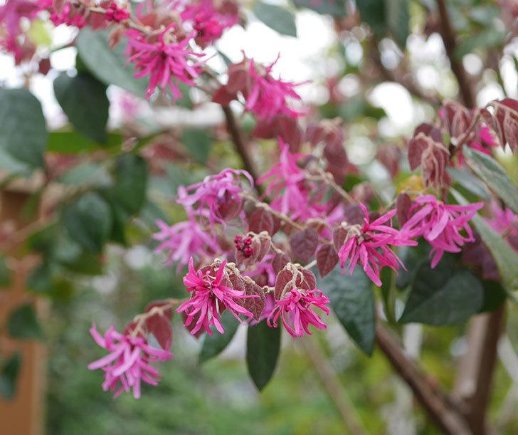 ベニバナトキワマンサクの花がたくさん咲いた。2020年-3.jpg
