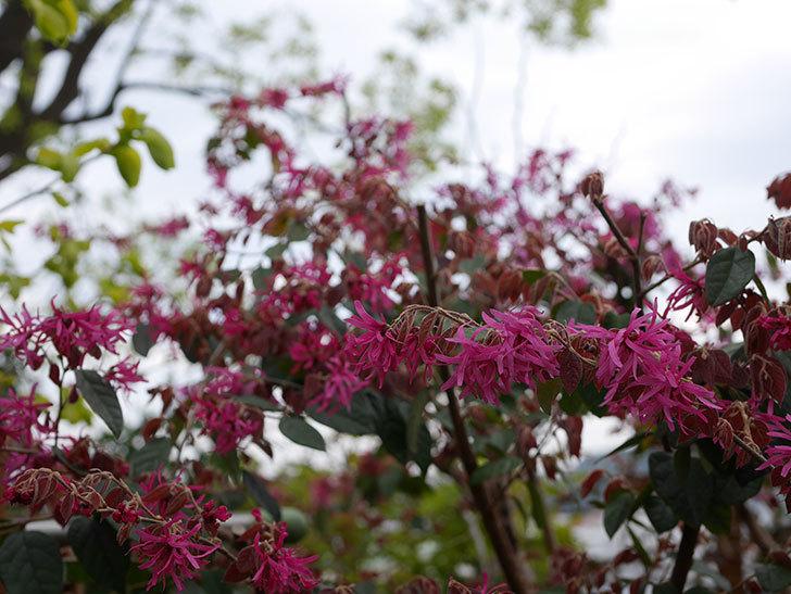 ベニバナトキワマンサクの花がたくさん咲いた。2020年-4.jpg