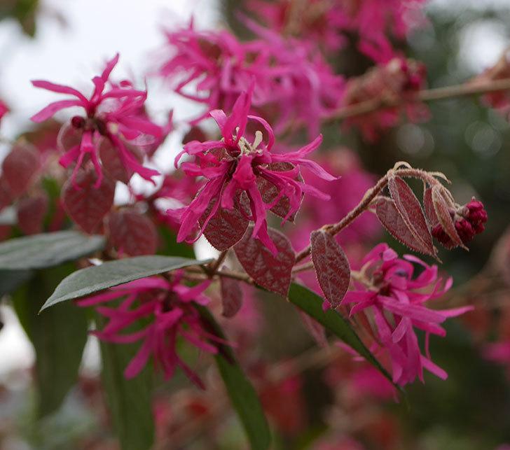 ベニバナトキワマンサクの花がたくさん咲いた。2020年-5.jpg