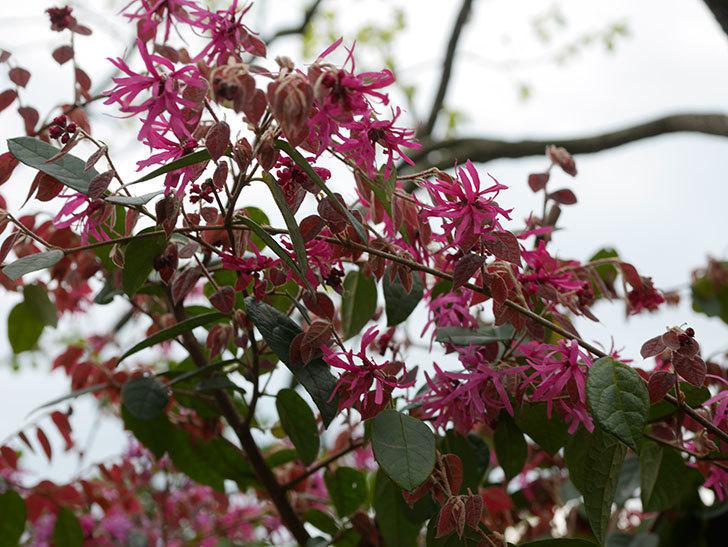 ベニバナトキワマンサクの花がたくさん咲いた。2020年-6.jpg
