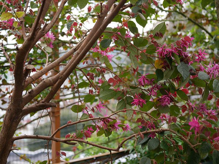 ベニバナトキワマンサクの花がたくさん咲いた。2020年-8.jpg