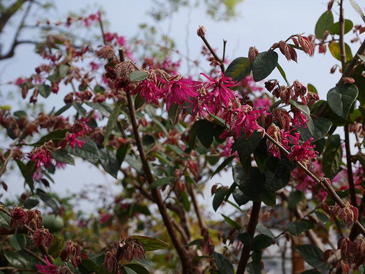 ベニバナトキワマンサクの花が咲いた。2020年-2.jpg