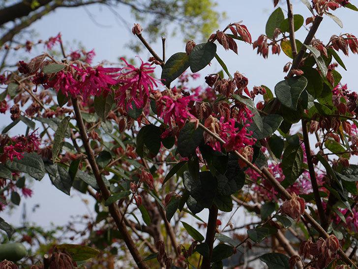 ベニバナトキワマンサクの花が咲いた。2020年-5.jpg