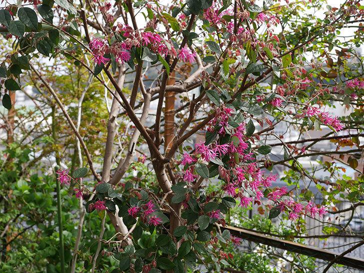 ベニバナトキワマンサクの花が咲いた。2020年-6.jpg