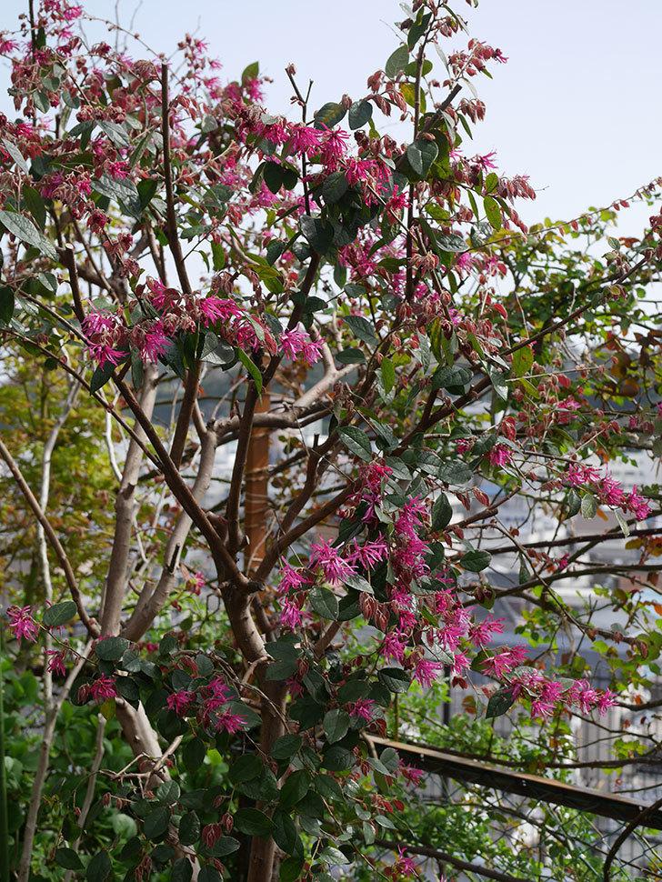 ベニバナトキワマンサクの花が咲いた。2020年-7.jpg