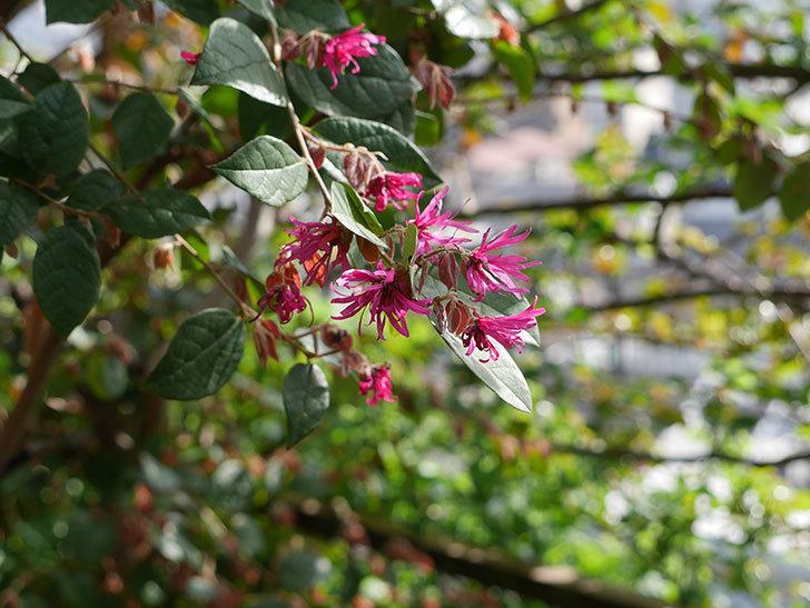 ベニバナトキワマンサクの花が咲きだした。2021年-002.jpg