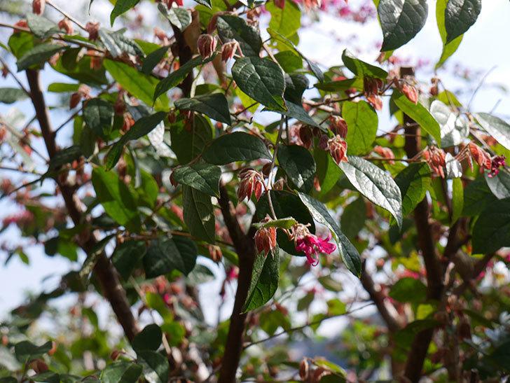 ベニバナトキワマンサクの花が咲きだした。2021年-003.jpg