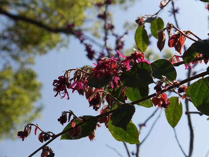 ベニバナトキワマンサクの花が咲きだした。2021年-004.jpg