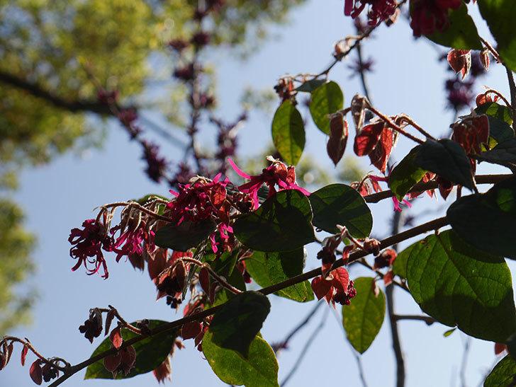 ベニバナトキワマンサクの花が咲きだした。2021年-005.jpg