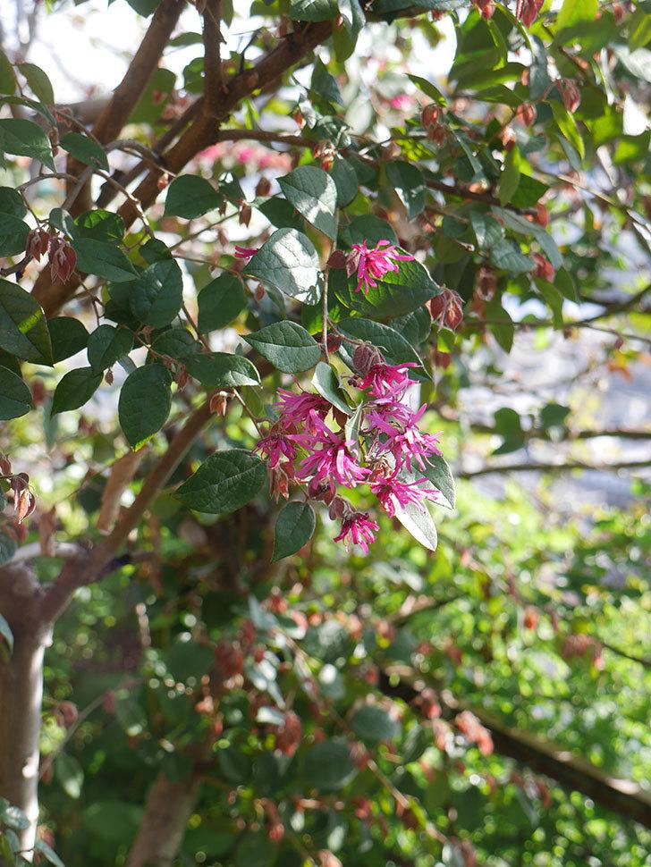 ベニバナトキワマンサクの花が咲きだした。2021年-006.jpg