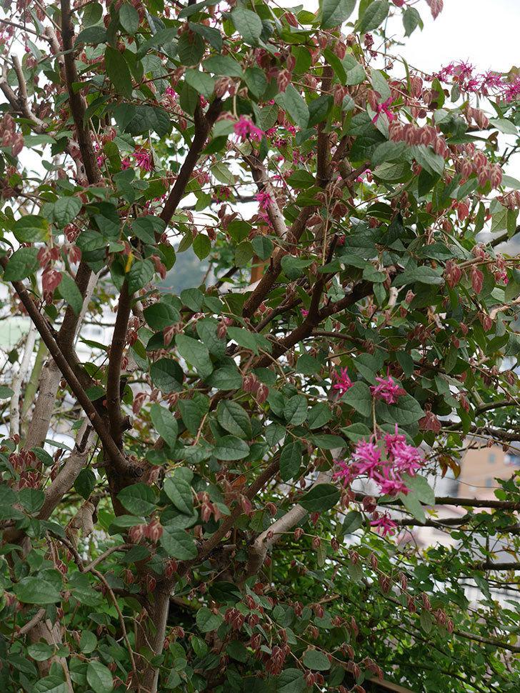 ベニバナトキワマンサクの花が咲きだした。2021年-007.jpg