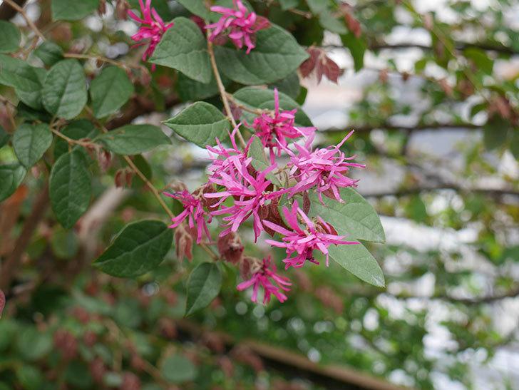 ベニバナトキワマンサクの花が咲きだした。2021年-008.jpg