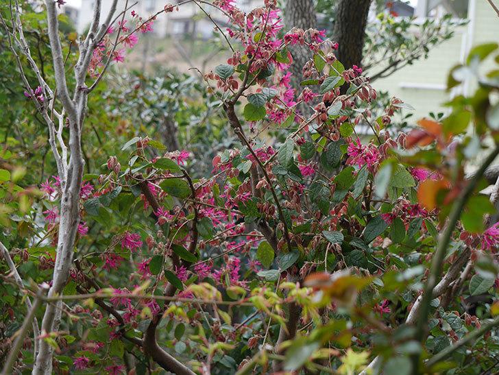 ベニバナトキワマンサクの花が咲きだした。2021年-011.jpg