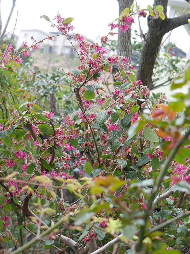 ベニバナトキワマンサクの花が咲きだした。2021年-012.jpg