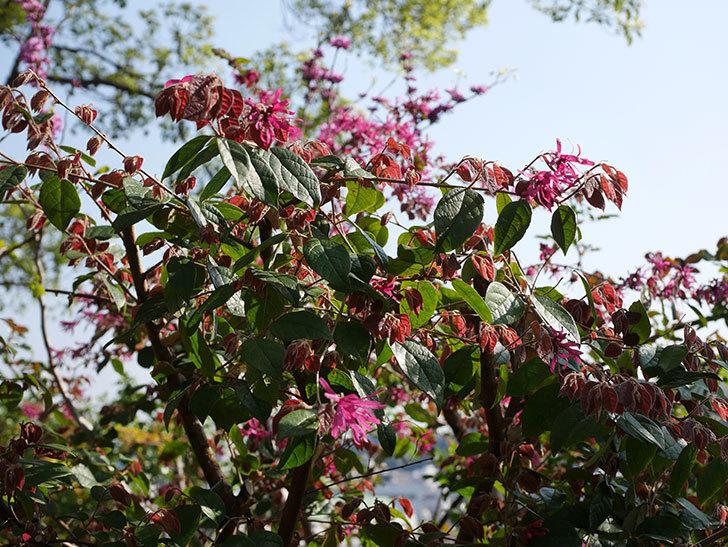 ベニバナトキワマンサクの花が増えてきた。2021年-001.jpg