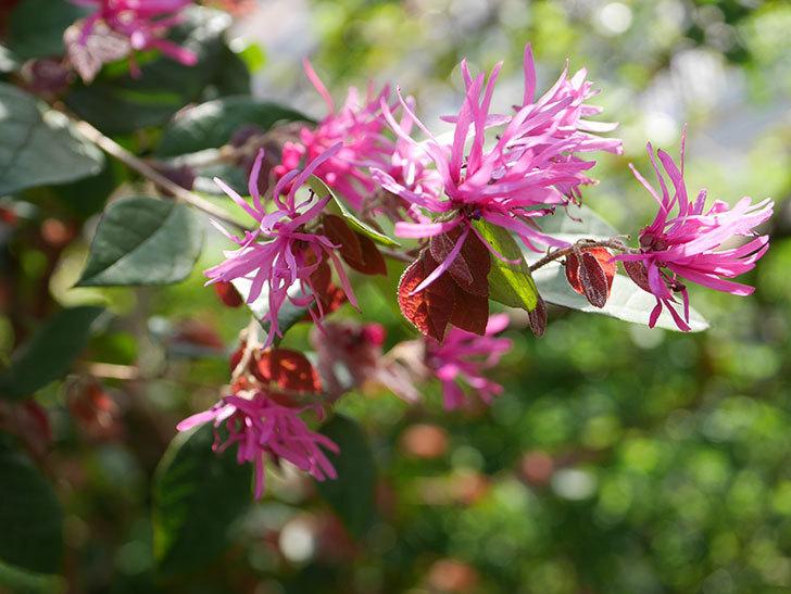 ベニバナトキワマンサクの花が増えてきた。2021年-002.jpg
