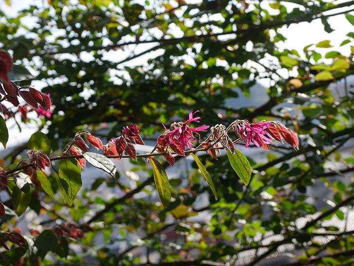 ベニバナトキワマンサクの花が増えてきた。2021年-005.jpg