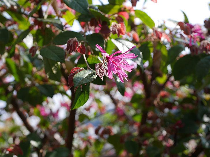 ベニバナトキワマンサクの花が増えてきた。2021年-006.jpg