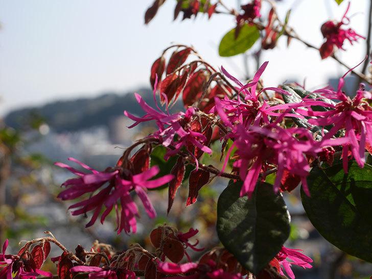 ベニバナトキワマンサクの花が増えてきた。2021年-008.jpg
