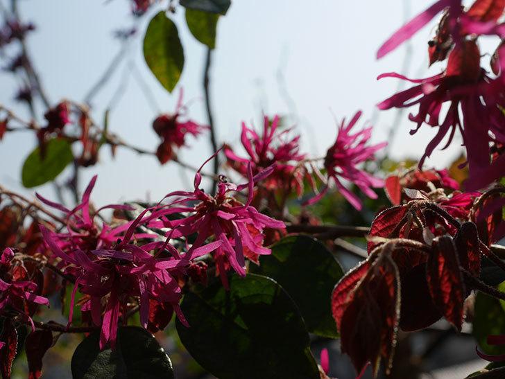 ベニバナトキワマンサクの花が増えてきた。2021年-010.jpg