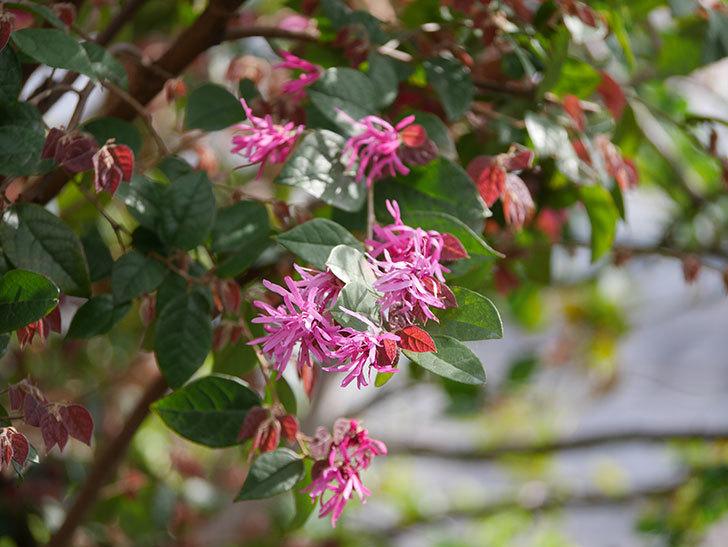 ベニバナトキワマンサクの花が増えてきた。2021年-011.jpg