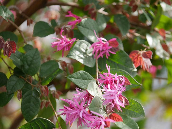 ベニバナトキワマンサクの花が増えてきた。2021年-012.jpg