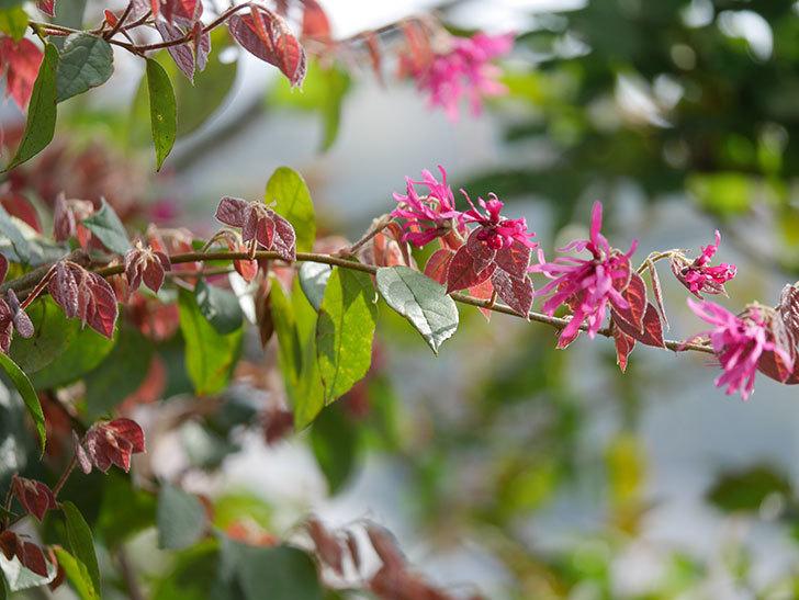 ベニバナトキワマンサクの花が増えてきた。2021年-013.jpg