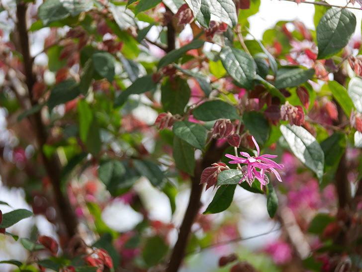 ベニバナトキワマンサクの花が増えてきた。2021年-014.jpg