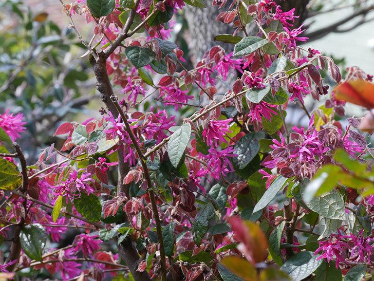 ベニバナトキワマンサクの花が増えてきた。2021年-015.jpg
