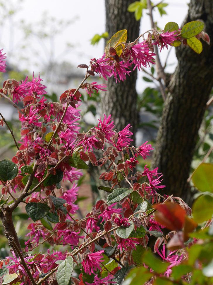 ベニバナトキワマンサクの花が増えてきた。2021年-017.jpg