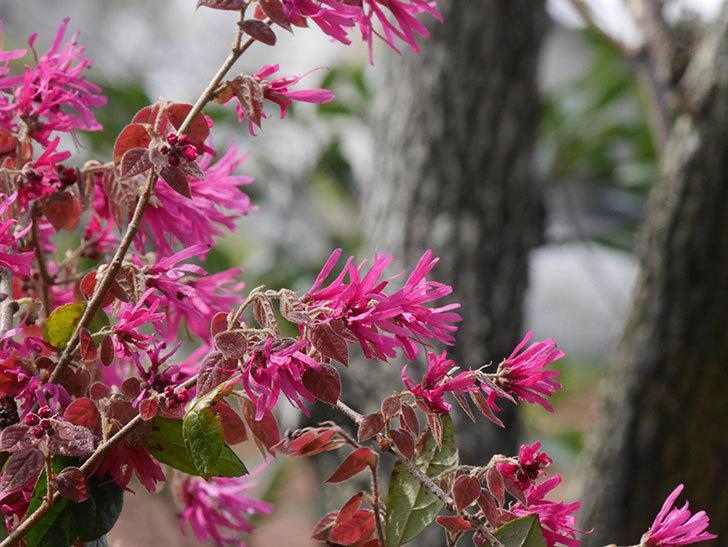 ベニバナトキワマンサクの花が増えてきた。2021年-019.jpg