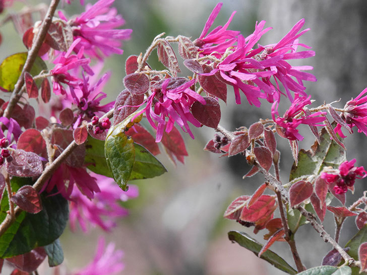 ベニバナトキワマンサクの花が増えてきた。2021年-020.jpg