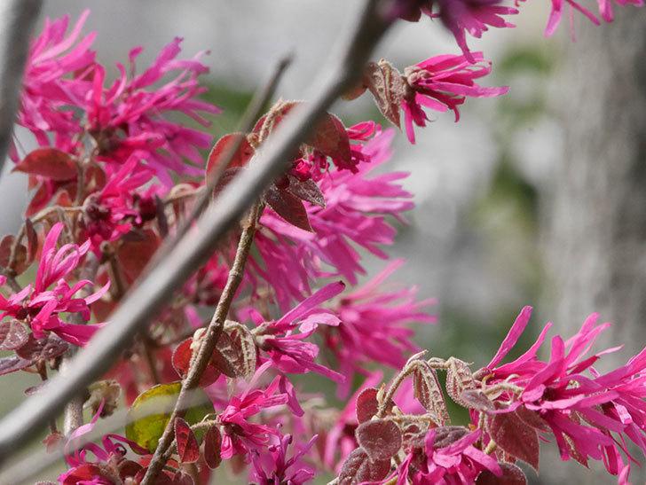 ベニバナトキワマンサクの花が増えてきた。2021年-021.jpg