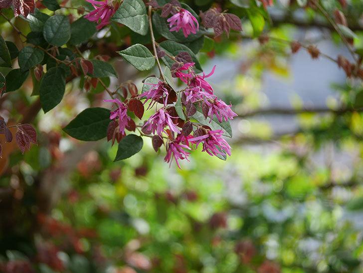ベニバナトキワマンサクの花が増えてきた。2021年-022.jpg
