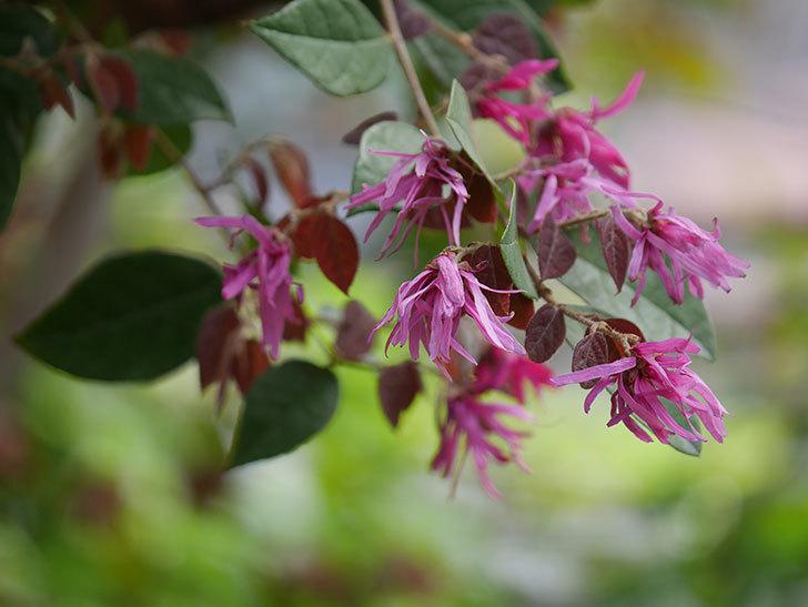 ベニバナトキワマンサクの花が増えてきた。2021年-023.jpg