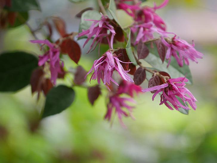ベニバナトキワマンサクの花が増えてきた。2021年-024.jpg