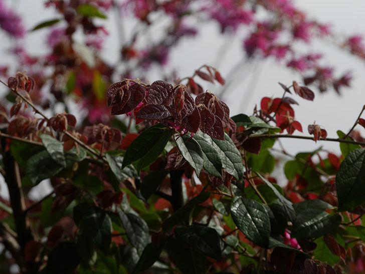 ベニバナトキワマンサクの花が増えてきた。2021年-025.jpg
