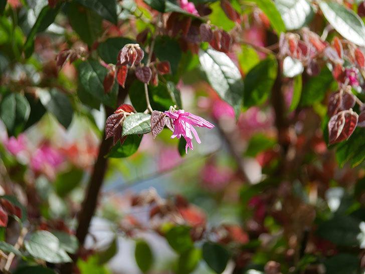 ベニバナトキワマンサクの花が増えてきた。2021年-026.jpg