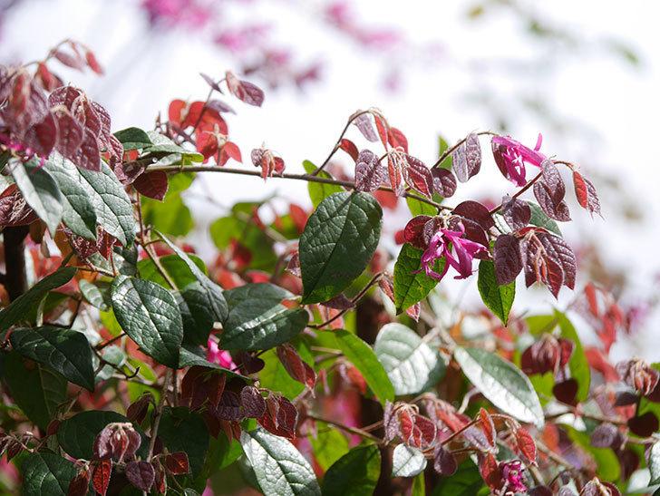 ベニバナトキワマンサクの花が増えてきた。2021年-027.jpg