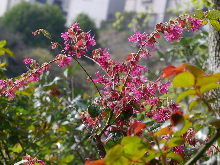 ベニバナトキワマンサクの花が増えてきた。2021年-028.jpg