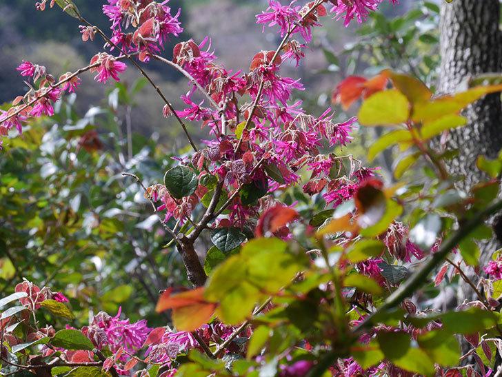 ベニバナトキワマンサクの花が増えてきた。2021年-029.jpg