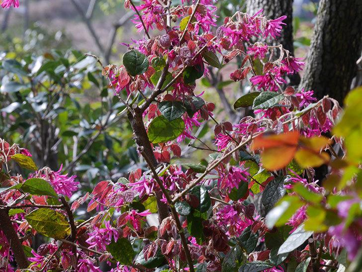 ベニバナトキワマンサクの花が増えてきた。2021年-030.jpg