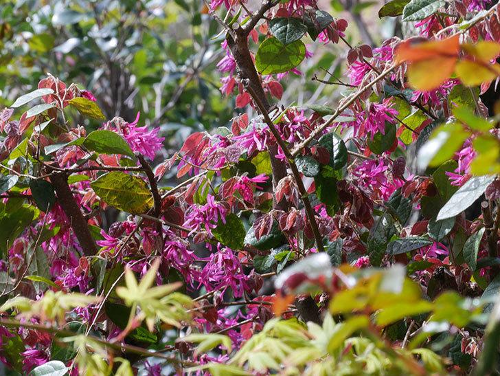 ベニバナトキワマンサクの花が増えてきた。2021年-031.jpg